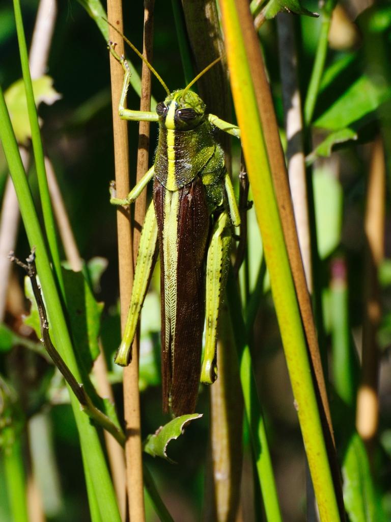 how to make a grasshopper shot