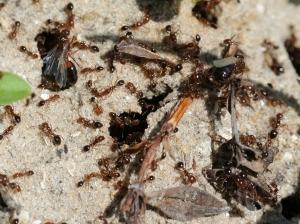 Ants 1