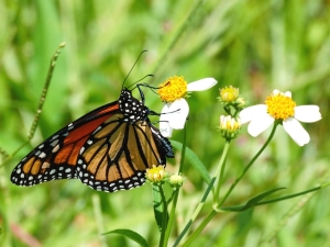 Monarch - Danaus plexippus_1233cr107