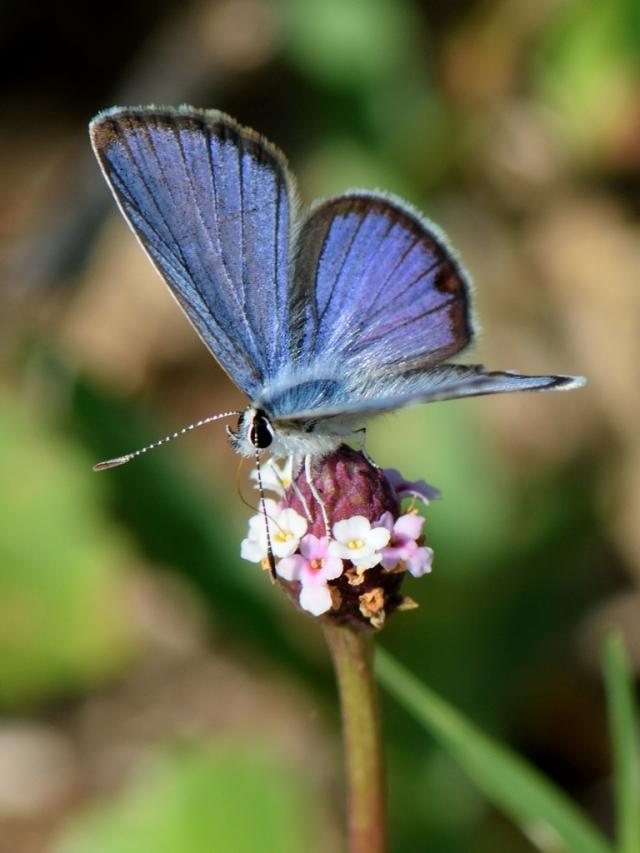 2510cv-ceraunus-blue-10web