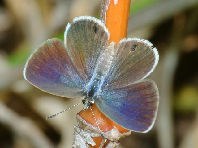 9209-ceraunus-blue-female